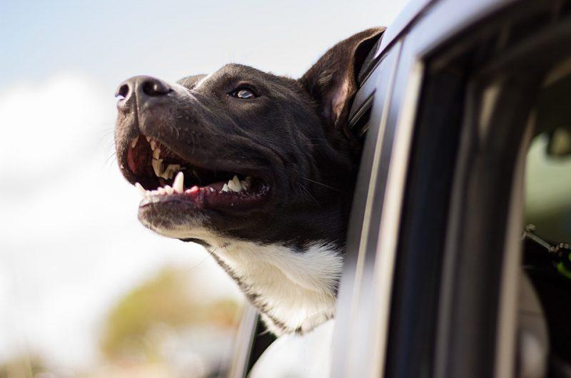 Viaggi spesso con il tuo cane in macchina? Ecco come comportarsi.